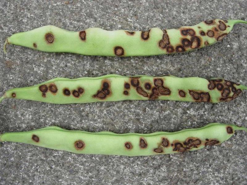 как вредители фасоли могут уничтожить весь урожай