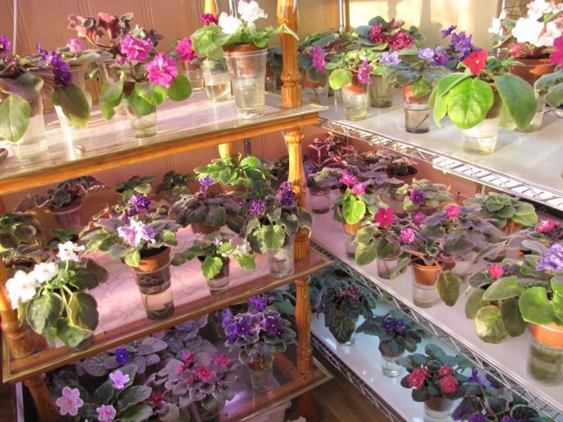 Офисные цветы: Фиалка