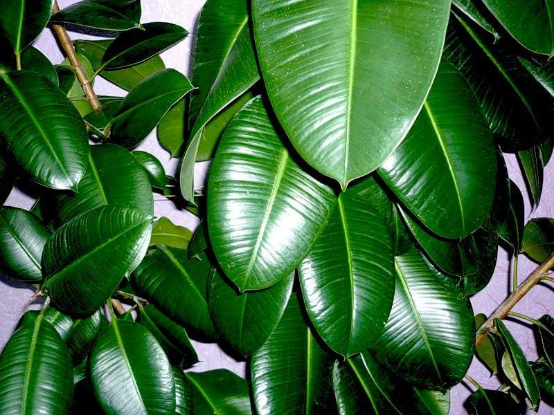 Фикус домашнее растение