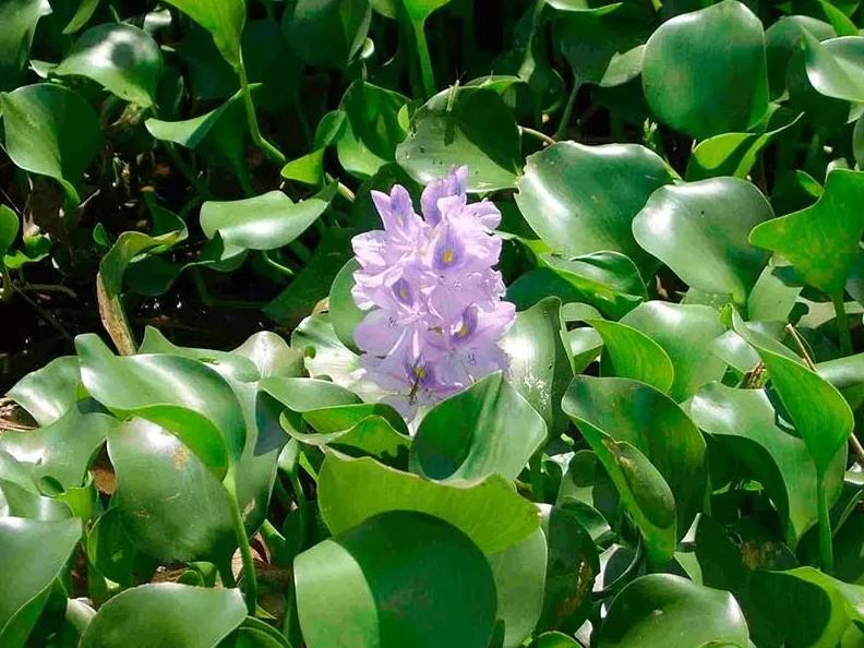 Удивительный цветок – водный гиацинт