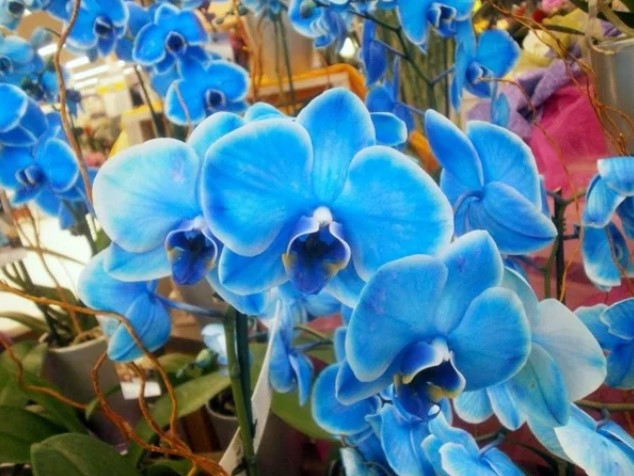 Голубой фаленопсис не существует! Голубая орхидея