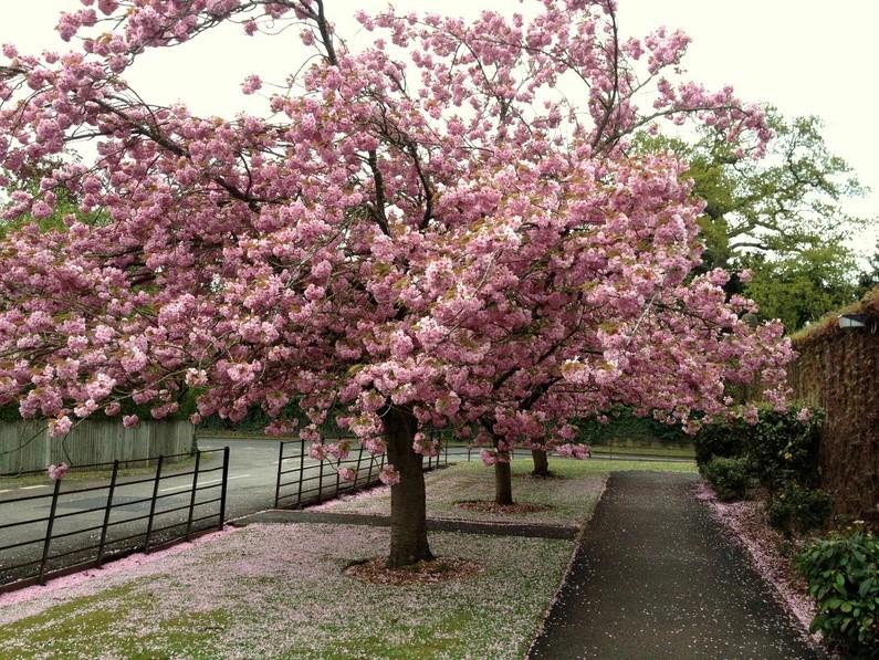 Японское вишневое дерево Канзан: зрелищное цветение