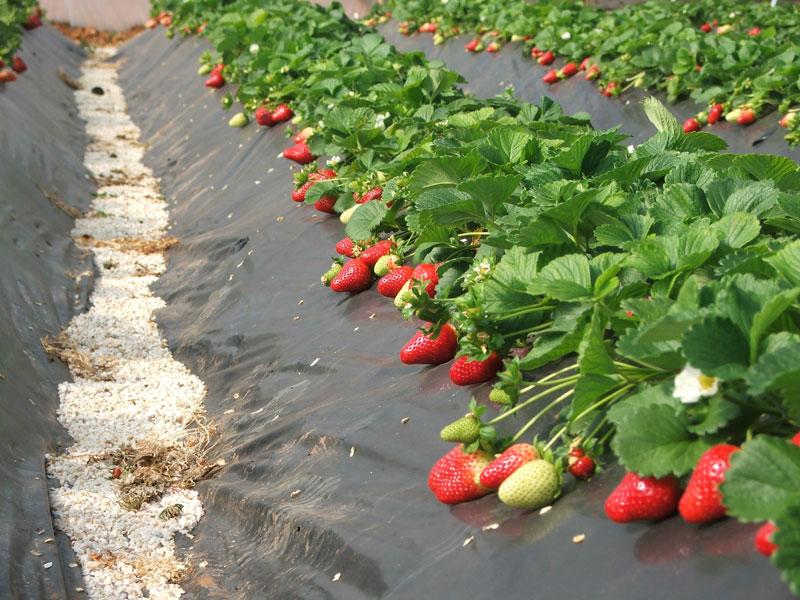 Как правильно высадить рассаду клубники?