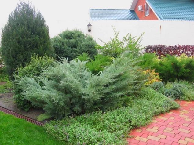 Можжевельник в озеленении сада