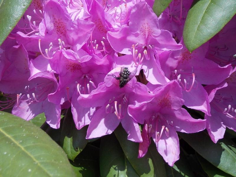 Удивительное растение Рододендрон