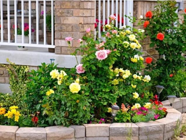 Королева цветов - роза. Растим в домашних условиях