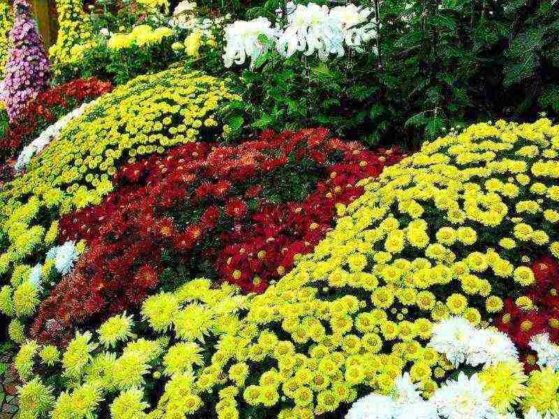 Выращивание хризантем что нужно знать?