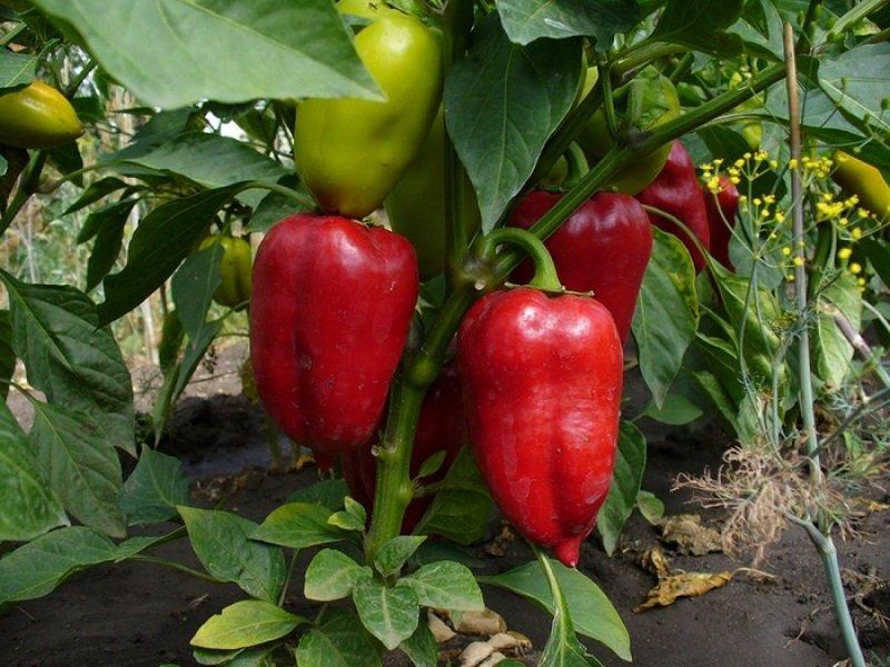 Как правильно выращивать перец в домашних условиях?