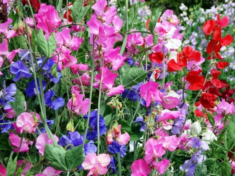 Цветы для вашего сада: душистый горошек