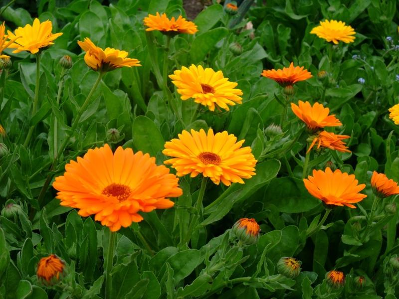 Цветы для вашего сада: календула (ноготок)