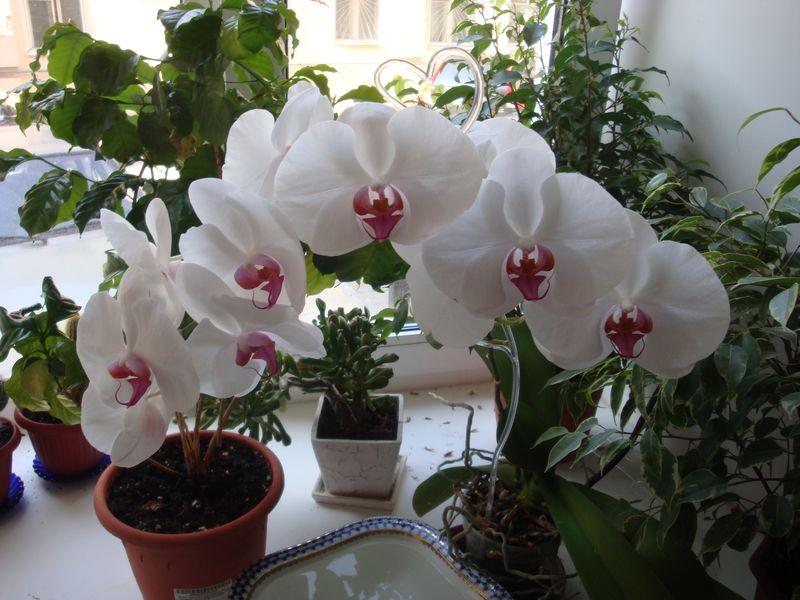 Как вырастить орхидеи дома?