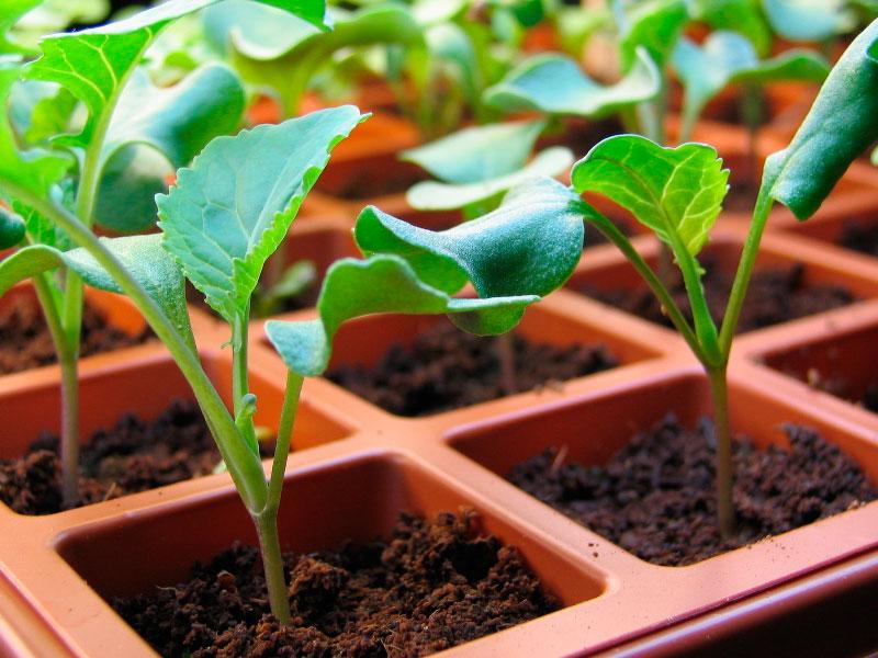 Как вырастить брокколи из рассады?