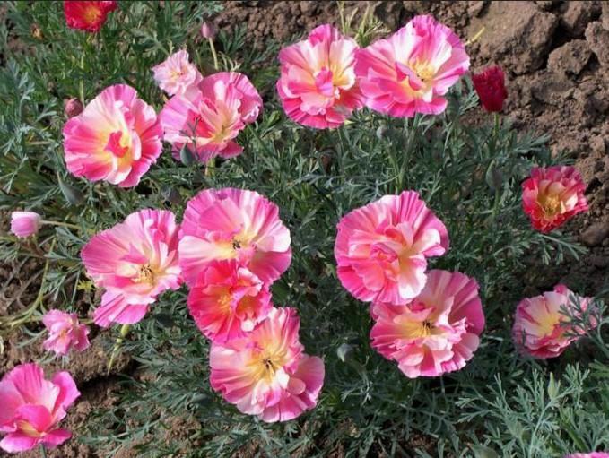 Цветы для вашего сада: эшшольция калифорнийская