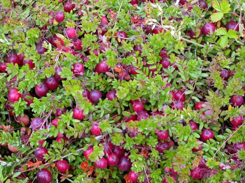 Как вырастить клюкву в саду?