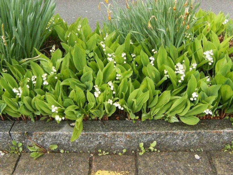 Садоводство: 5 советов по уходу за ландышем