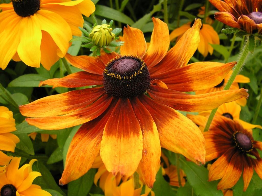 Цветы для вашего сада: рудбекия