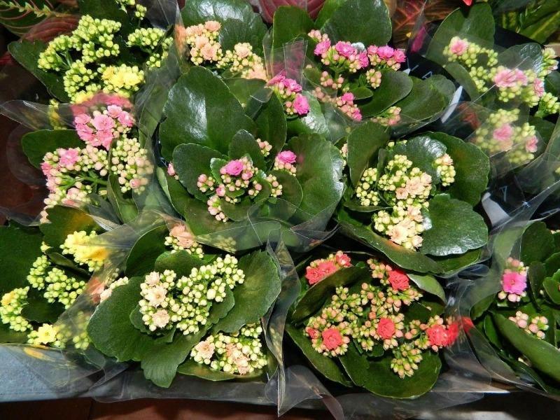 Каландива: как добиться повторного цветения