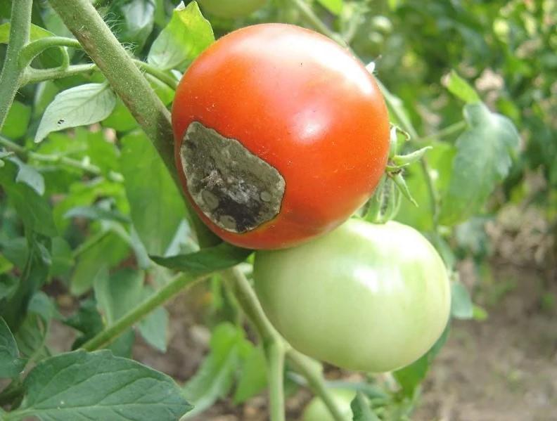 Как защитить томаты от вешинной гнили?