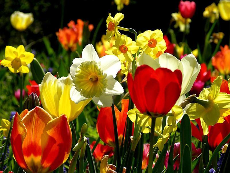 Красота тюльпанов или как добиться раннего цветения?