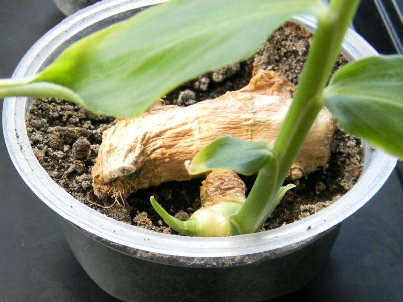 Как вырастить имбирь в горшке у себя дома?