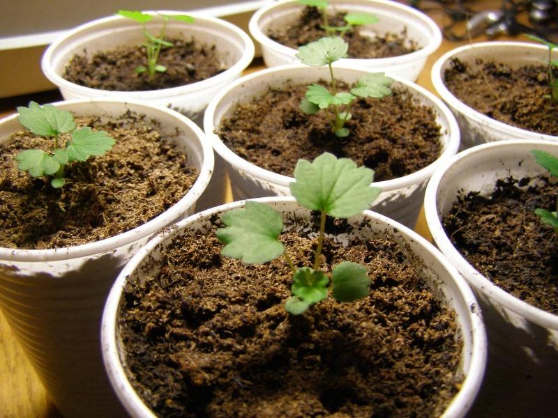 Самостоятельное выращивание садовой земляники из семян