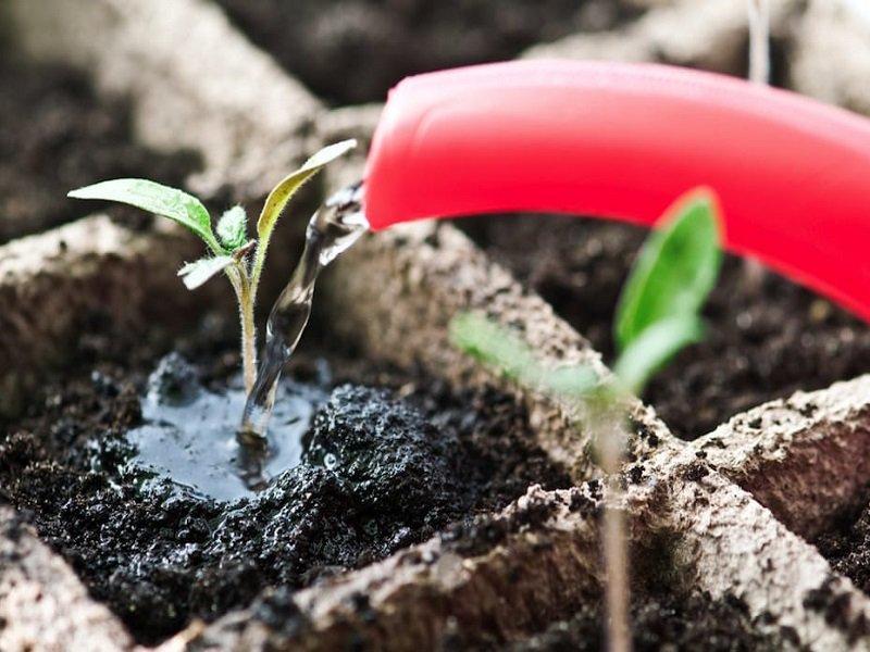 Как ухаживать за рассадой томатов после всходов?