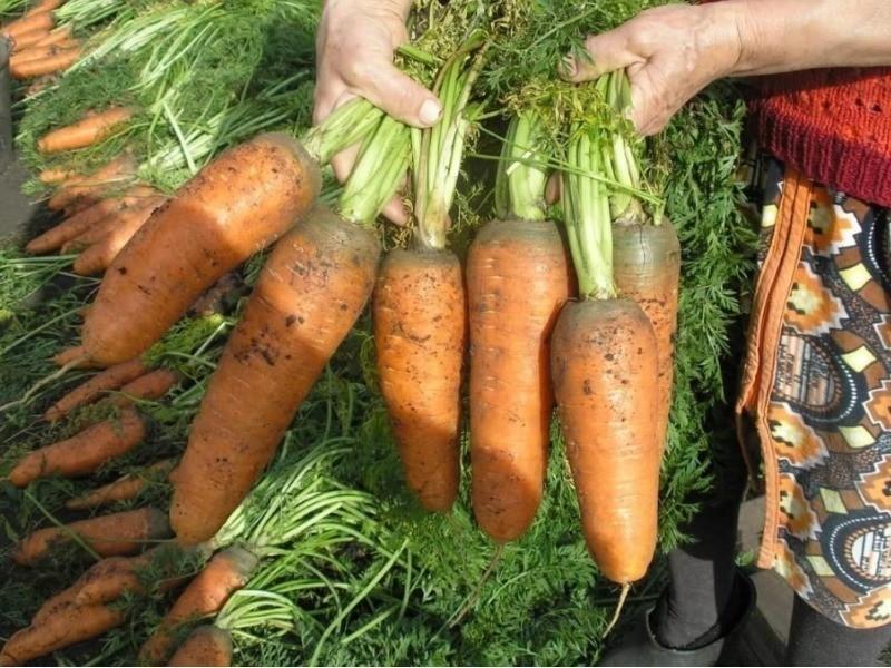 Как вырастить хороший урожай морковки?