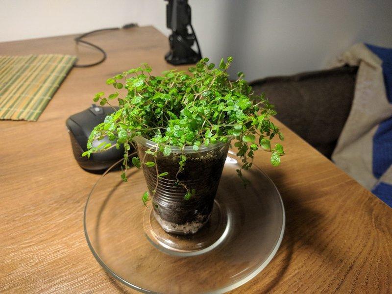 Гелксина Солейроля: выращивание и уход