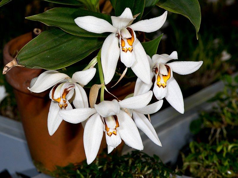 Орхидеи рода Целоргина (Coelogyne)