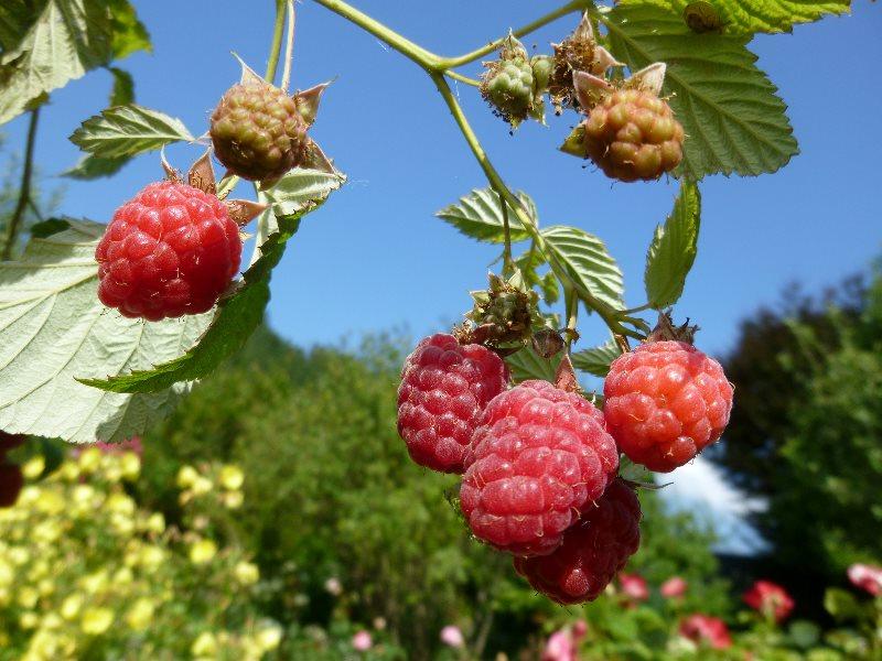 Как повысить урожайность малины на дачном участке?