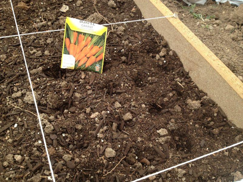 Посадка моркови под зиму: простые правила начинающему дачнику