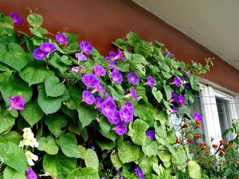 Вьюнок — голубое чудо на вашем балконе!