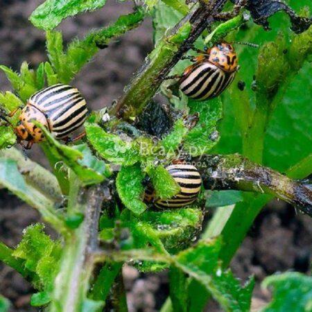 Ученые узнали, как колорадский жук побеждает пестициды