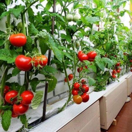 Какие овощи можно вырастить на подоконнике?